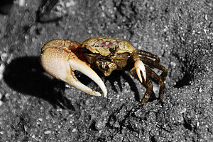 Dear enemy effect - Male sand fiddler crabs attract mates by waving