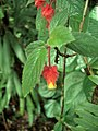 Crantzia cristata flowers.jpg