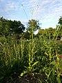 Crepis pulchra sl4.jpg