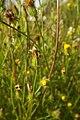 Crepis setosa inflorescence (23).jpg