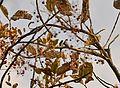 Crested treeswift (Hemiprocne coronata) DSC0036.jpg