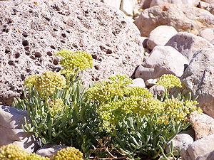Sea fennel (Crithmum maritimum)