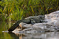 Crocodile 2 by N A Nazeer.jpg