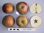 Cross section of Weigelts Zinszahler, National Fruit Collection (acc. 1951-212).jpg
