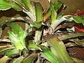 Cryptanthus bivittatus-yercaud-salem-India.JPG