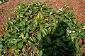 Cryptolepis buchananii (Indian sarsaparilla) W IMG 3230.jpg