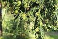 Cryptomeria japonica PAN 5 foliage.JPG