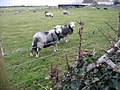 Curious sheep at Rectory Farm - geograph.org.uk - 1034156.jpg