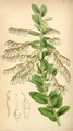 Curtis's Botanical Magazine, Plate 4314 (Volume 73, 1847).png