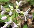 Cutleaf Toothwort (Dentaria laciniata) - Flickr - Jay Sturner (1).jpg