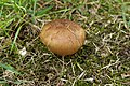 Cyanoboletus pulverulentus (36496800866).jpg