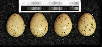 Azure-winged magpie - Eggs, Collection Museum Wiesbaden