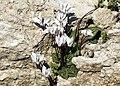 Cyclamen persicum - Persian cyclamen 03.jpg