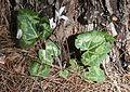 Cyclamen persicum 14.jpg