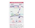 Cyclic AMP activates PKA kinase.png