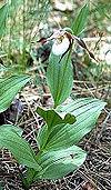 Cypripedium-montanum2