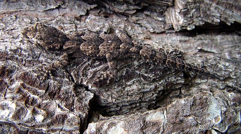 A Cyrtodactylus species, Cyrtodactylus kotschyi orientalis