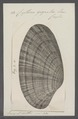 Cytherea gigantea - - Print - Iconographia Zoologica - Special Collections University of Amsterdam - UBAINV0274 078 01 0013.tif