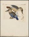 Dacelo cervina - 1820-1863 - Print - Iconographia Zoologica - Special Collections University of Amsterdam - UBA01 IZ16800171.tif