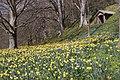 Daffodils The Weir (4490476344).jpg