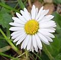 Daisy flower close up.jpg