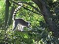 Dallas Zoo Ring Tailed Lemur.jpg