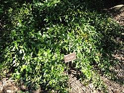 Danae racemosa - J. C. Raulston Arboretum - DSC06157.JPG