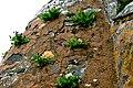 Dandelions growing on Doe Castle structure - geograph.org.uk - 1184891.jpg