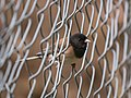 Dark Eyed Junco Perched In A Chain Link Fence (214463831).jpeg