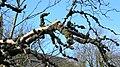 Dead Elm tree festooned with crown galls, Stevenston, North Ayrshire.jpg