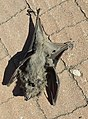 Dead Rousettus aegyptiacus.jpg