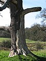 Dead oak tree - geograph.org.uk - 724683.jpg
