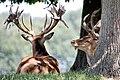 Deer (36544266255).jpg