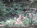 Deer in Muir Woods.jpg
