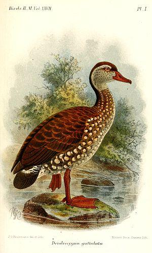 Spotted whistling duck - Image: Dendrocygna Guttulata Keulemans