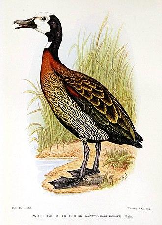 White-faced whistling duck - Image: Dendrocygna Viduata Davies
