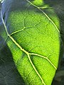 Dendroseris litoralis leaf venation detail back-lit Kew.jpg