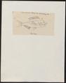 Dentex unispinosus - 1825 - Print - Iconographia Zoologica - Special Collections University of Amsterdam - UBA01 IZ13000251.tif