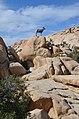 Desert bighorn sheep Baker Dam Trail Joshua Tree Park 2019.jpg