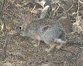 Desert cottontail rabbit (Sylvilagus audubonii) (5-13-11) patagonia lake, scc, az -01 (5720663856).jpg
