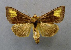 Wasserdost-Goldeule (Diachrysia chryson)