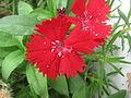 Dianthus, Red Dianthus 02.JPG