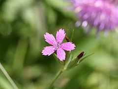 Dianthus armeria 8939.jpg