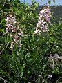 Dictamnus albus PID2057-1.jpg