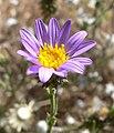 Dieteria canescens var canescens 6.jpg