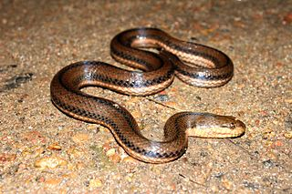 <i>Dieurostus</i> Genus of snakes