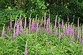 Digitalis purpurea Foxglove (2) (27628101359).jpg