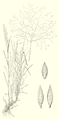 Digitaria cognata HC-1951 01.png