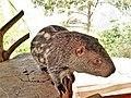 Dinomys branickii.JPG