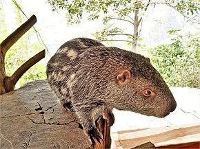 habitat pacarana: